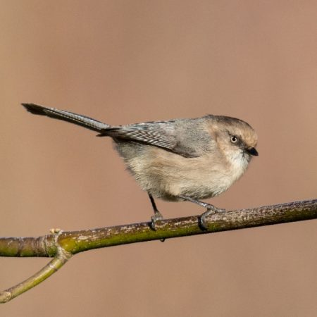 Bushtit Discovery. Photo by Mick Thompson.