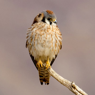 Frank the Kestrel. Photo by Mick Thompson.