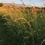 Lippold-Grass-1.jpg