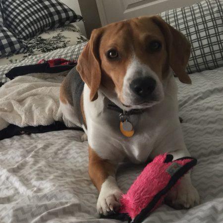 Wilbur the Beagle